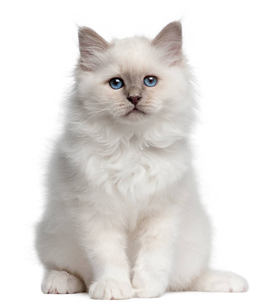 Birman kitten 10 weeks old sitting white background picture id119869200?b=1&k=6&m=119869200&s=612x612&w=0&h=xyewqk8sglarghw 4wxqepnfsc9pnr3fnw 5oonywhi=