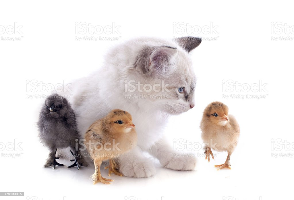 birman kitten and chicks royalty-free stock photo