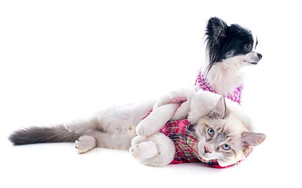 Birman kitten and chihuahua picture id476451167?b=1&k=6&m=476451167&s=612x612&w=0&h=0dafjyc1tqfj3ehumlpnrdyl0elfmqwh4lu9pwu ile=