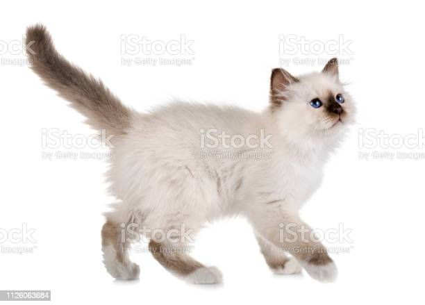 Birman kitten picture id1126063684?b=1&k=6&m=1126063684&s=612x612&h=iakbpk3mywafphricqyzkukvnkmgylbek83d5puxe 0=