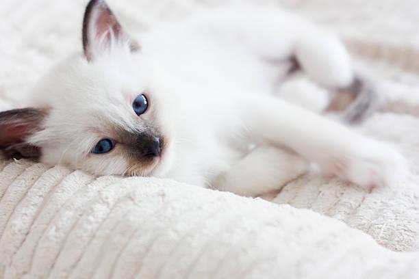 birman kitten stock photo