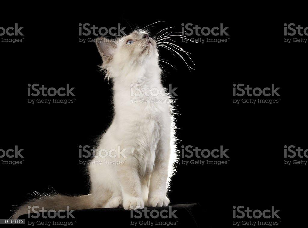 Kot Birmański Kociak Rozciągać Się Na Czarny Stockowe Zdjęcia I