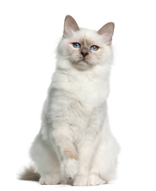 Birman portrait 5 months old against white background picture id981716892?b=1&k=6&m=981716892&s=612x612&w=0&h=ki bcwqgaw2xmfatu9qor4tt3i3kevid9al9nrvqbe0=