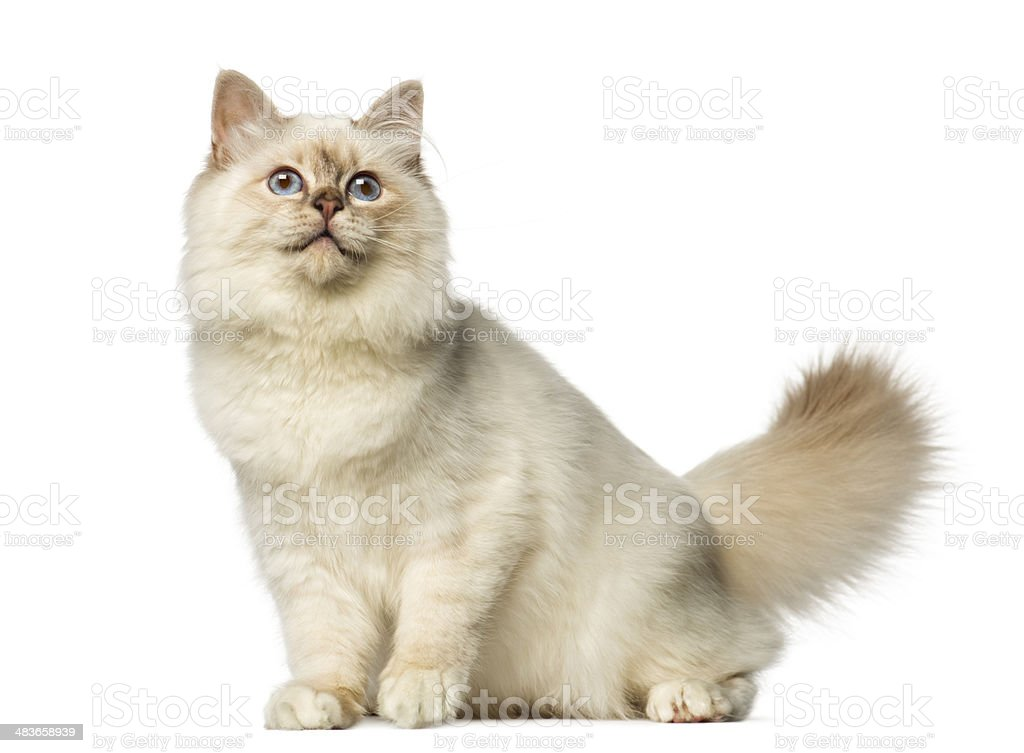 Birman sitting and looking up stock photo