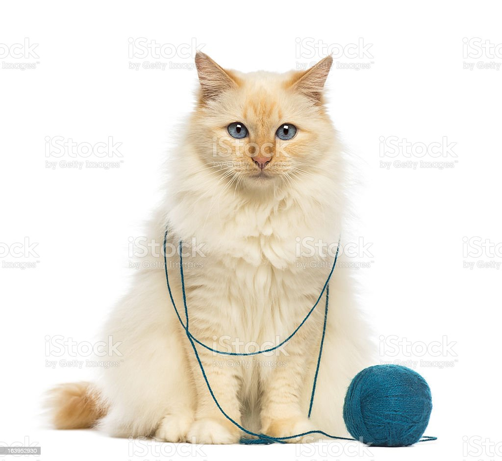 Birman sitting with ball of wool against white background stock photo