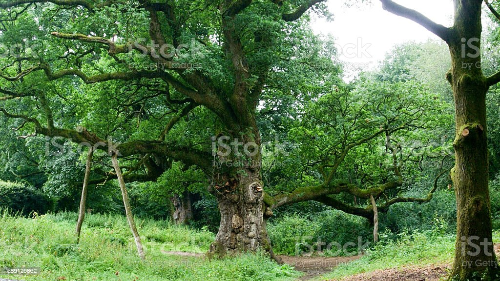 Birnam Oak stock photo