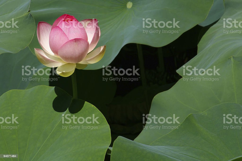 Birth of a Lotus Blossom royalty-free stock photo