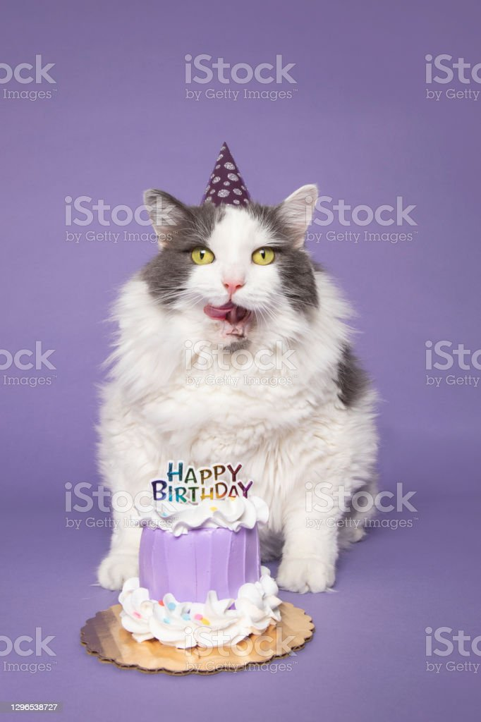 Birthday Cat Ready for Cake A cute cat in a party hat with a birthday cake licking her face, photographed on purple. Animal Stock Photo