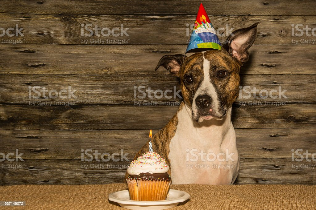 Birthday Dog Stock Photo More Pictures Of American Culture