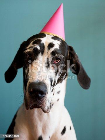 istock Birthday Dog 870358168