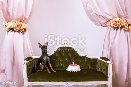 istock Birthday dog with cake. Toy Terrier party 825059630