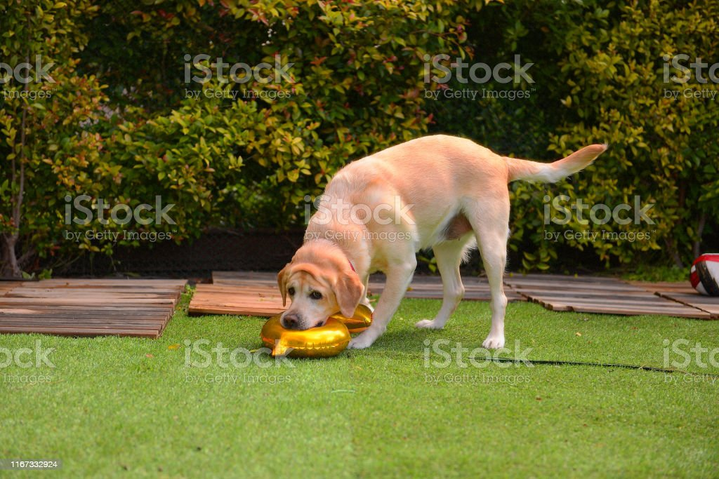 Birthday in dogs. Dog\'s birthday party. Labrador play with balloon in...