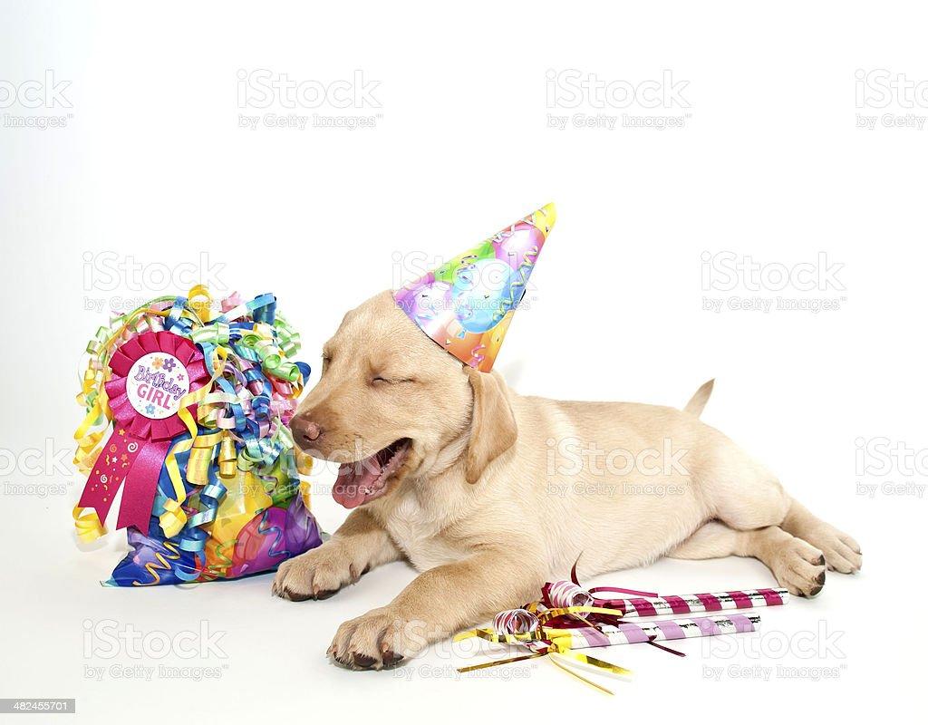 Birthday Lab stock photo