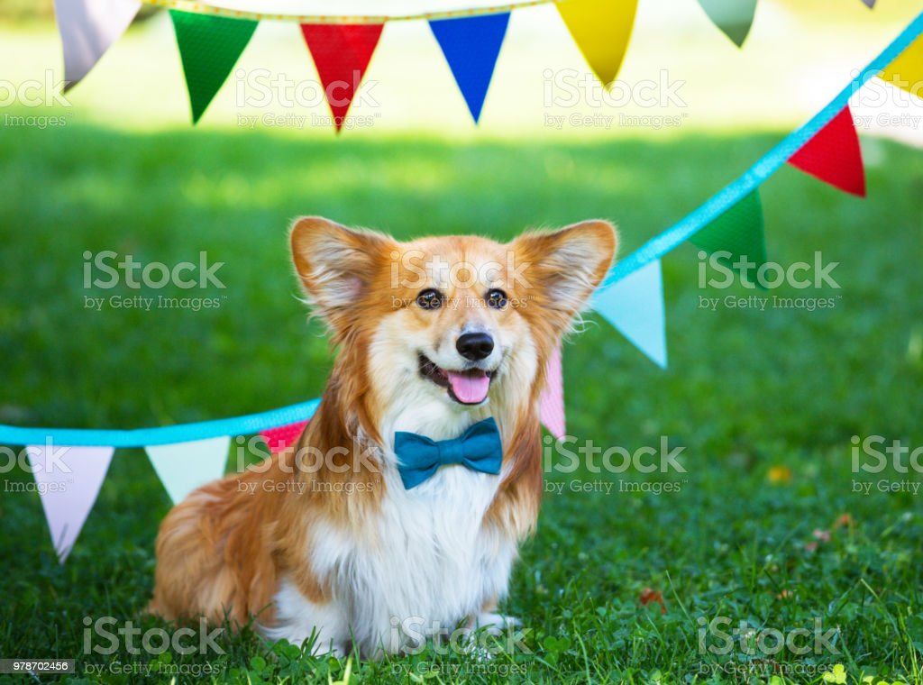 birthday off beautiful corgi fluffy on green lawn and colorful party flags on the background stock photo