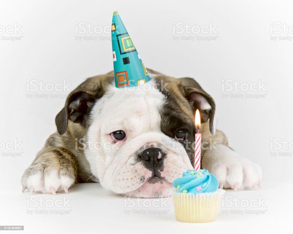 Birthday Party Bulldog stock photo