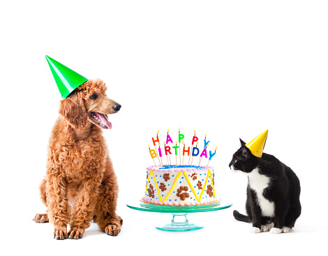 Pet dog and cat friends celebrating an animal birthday with birthday cake. The red standard poodle puppy and tuxedo black and white kitty wear paper party hats and sit next to the fancy paw frosting decorated dessert with text candles. Cut out and isolated on white background, with no people.