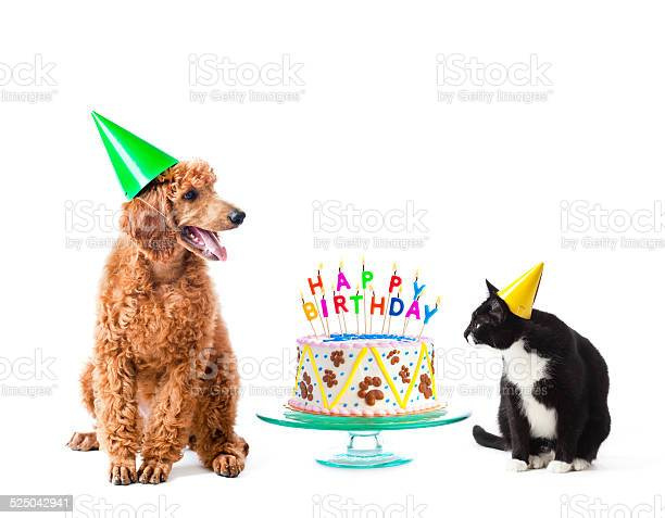 Birthday party puppy poodle and cat with cake on white picture id525042941?b=1&k=6&m=525042941&s=612x612&h=kpcxkwff7riulnagolgtoew dfjdzcxnfucx9g1omu0=
