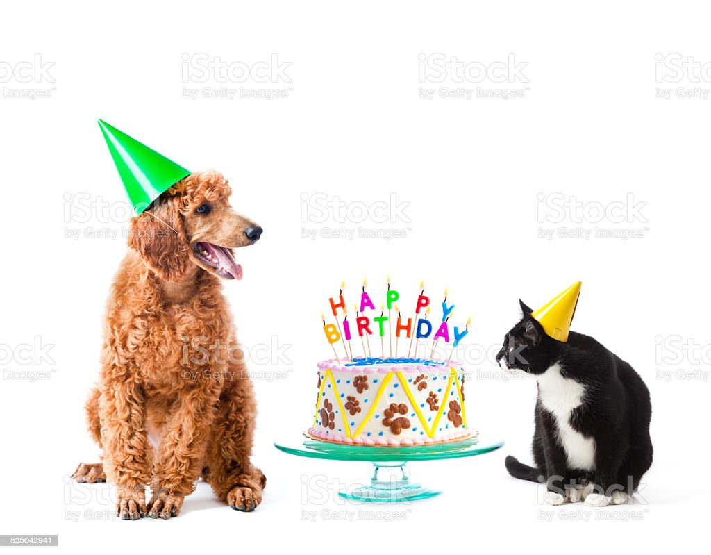 Birthday Party Puppy Poodle and Cat with Cake on White stock photo