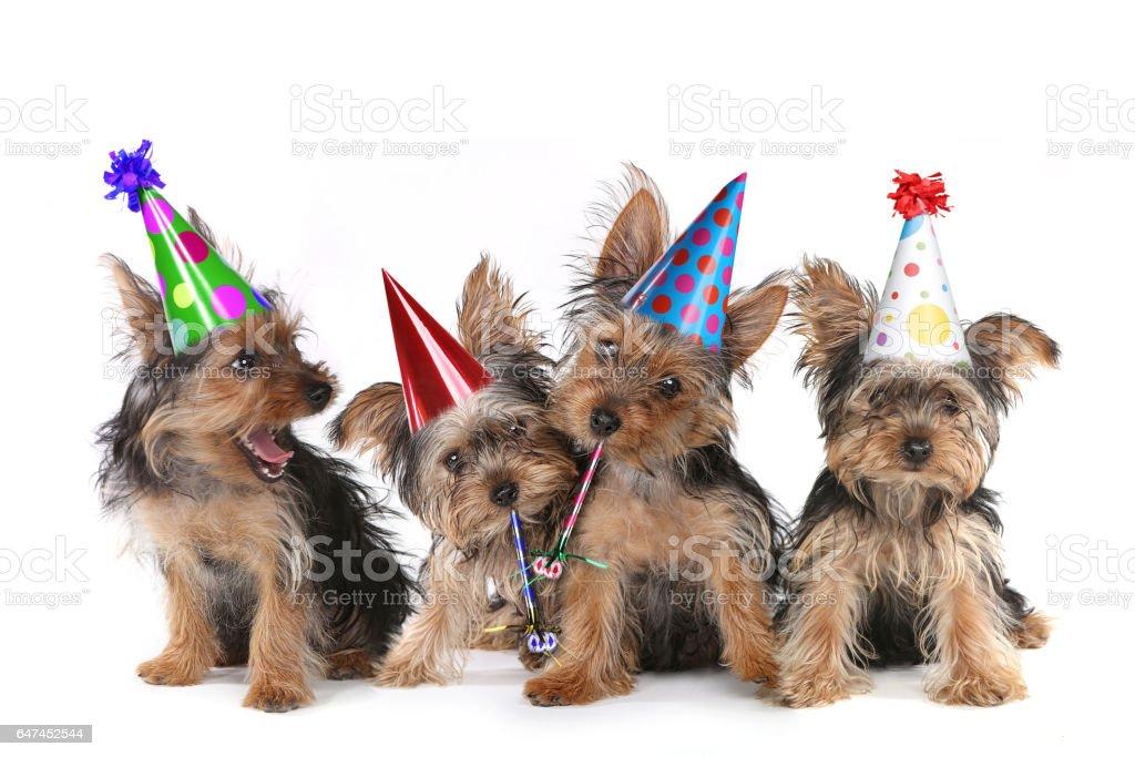 Birthday Theme Yorkshire Terrier Puppies on White stock photo