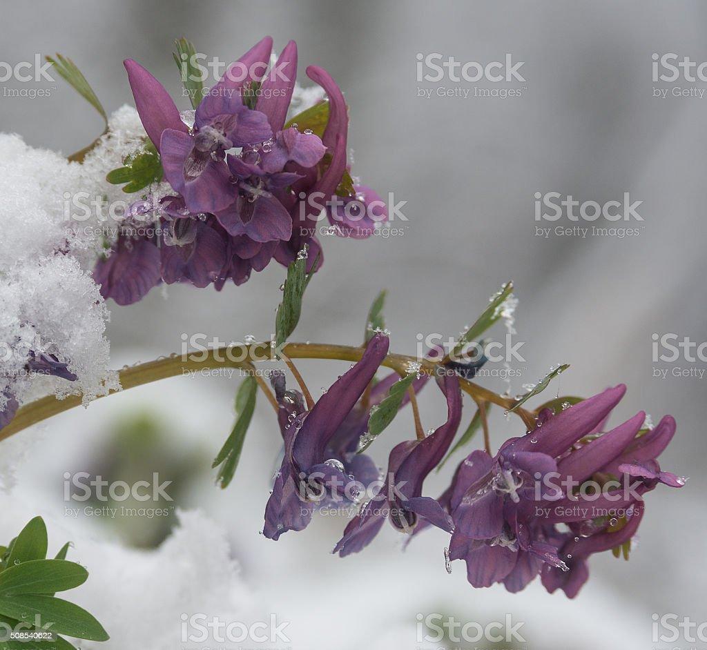 Birthwort flowers  (Corydalis solida) close-up stock photo