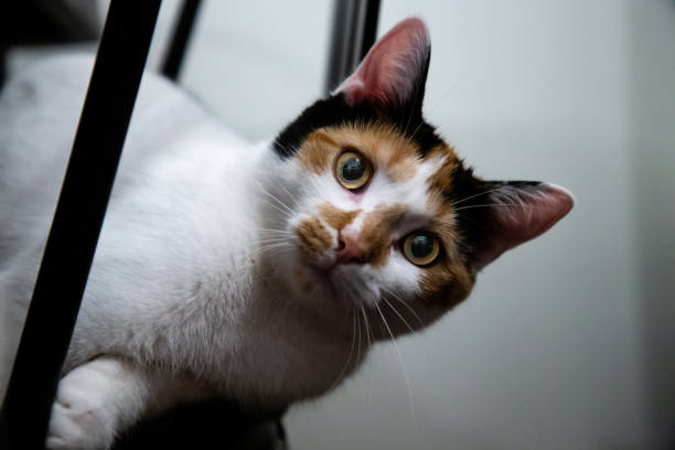 Biscuit the Calico Cat stock photo