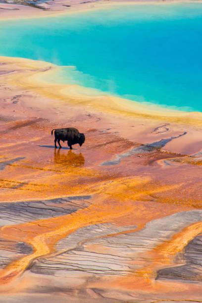bison und grand prismatic spring yellowstone vertical - schönste reiseziele der welt stock-fotos und bilder
