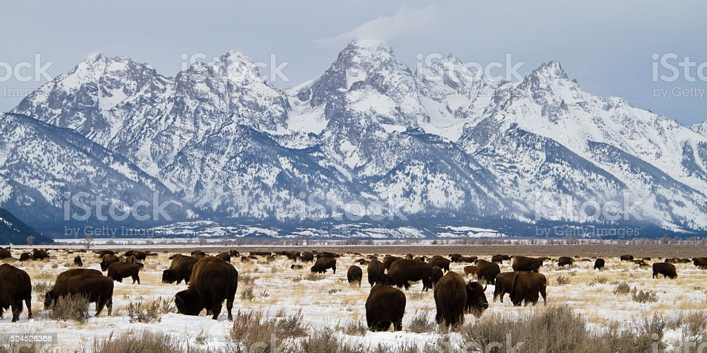 Bison and Teton in Winter stock photo