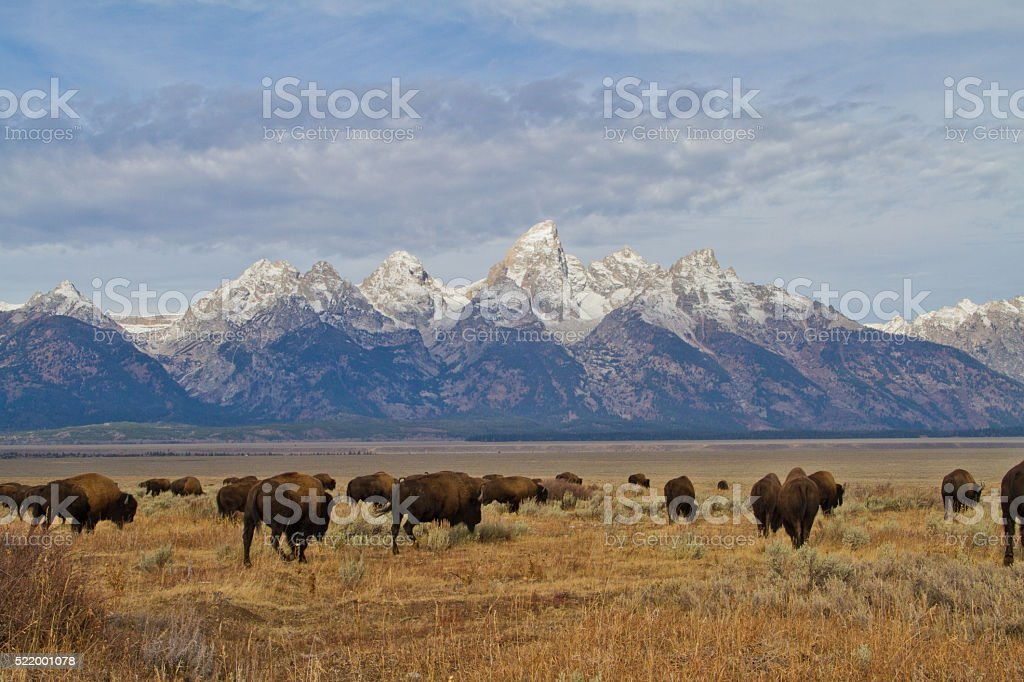 Bison and Tetons II stock photo