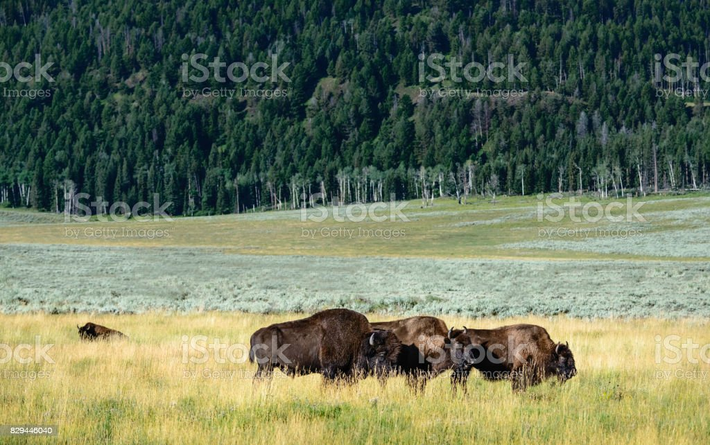 Bison at dawn in summer, Yellowstone, Wyoming, USA. stock photo