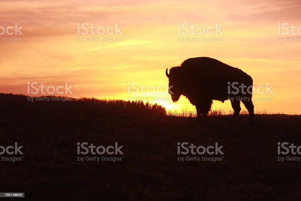 Bison at Sunset stock photo