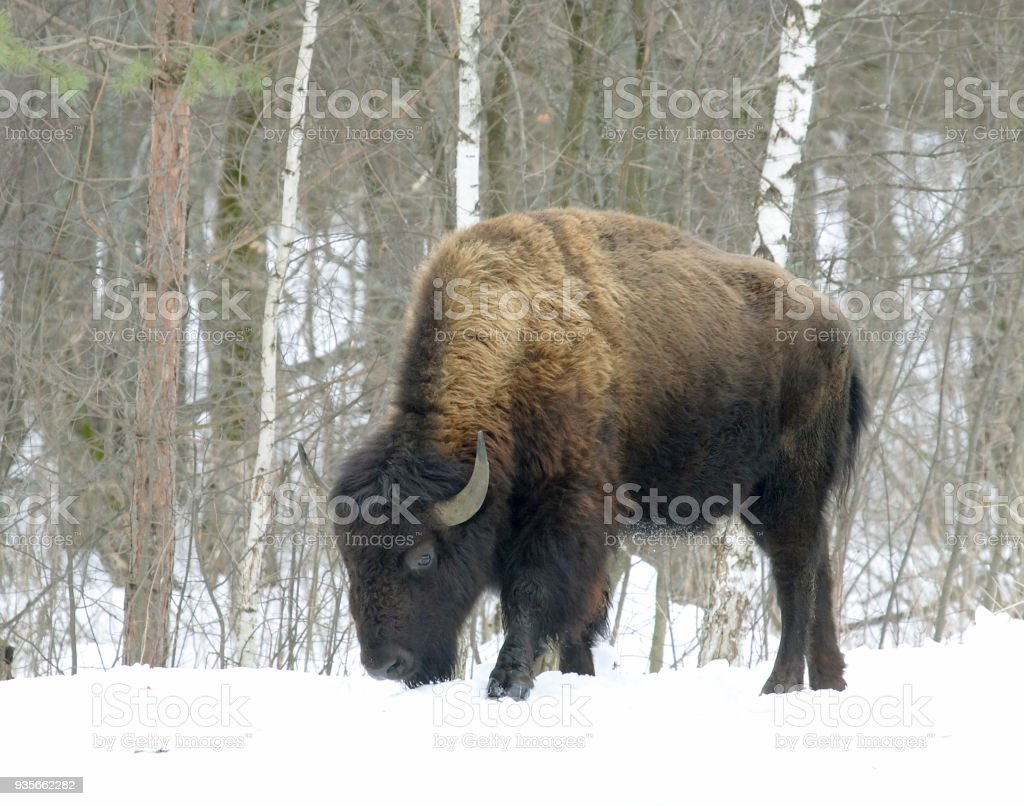 Bison at the winter forest stock photo