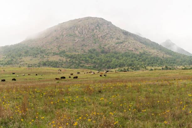 Bison at Wichita Mountains stock photo