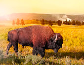 Bison at Yellowstone at sunset