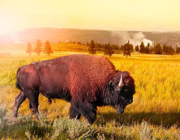Bison på Yellowstone bildbanksfoto