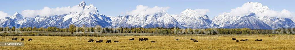 Bison before Grand Teton range stock photo