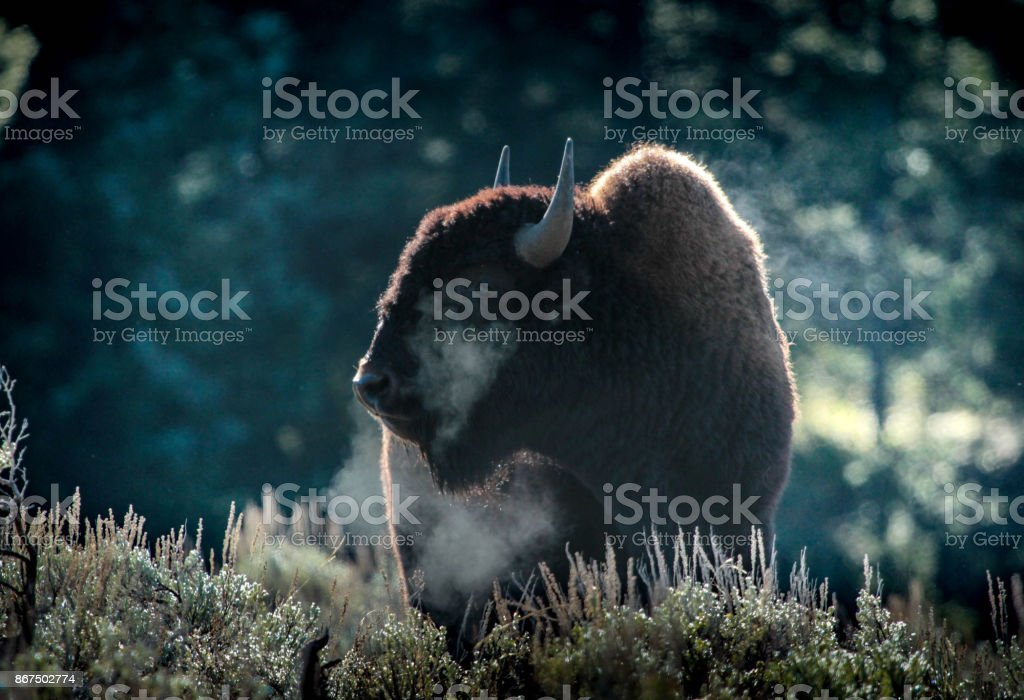 Bison Breath stock photo