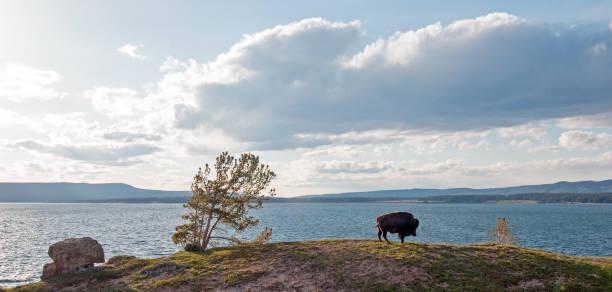Bison Buffalo Bull grazing next to Yellowstone Lake in Yellowstone National Park in Wyoming USA stock photo