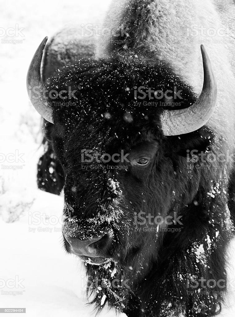 bison bull schneien Schwarz und Weiß Gesicht, Porträt – Foto