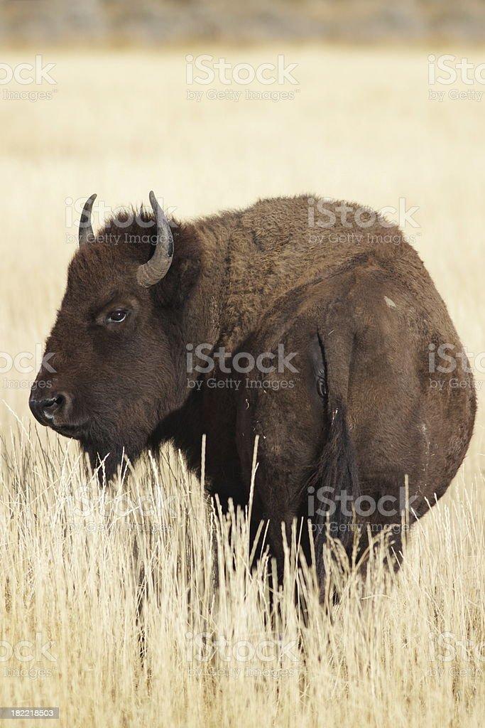 Bison Bull Standing Prairie Wildlife royalty-free stock photo