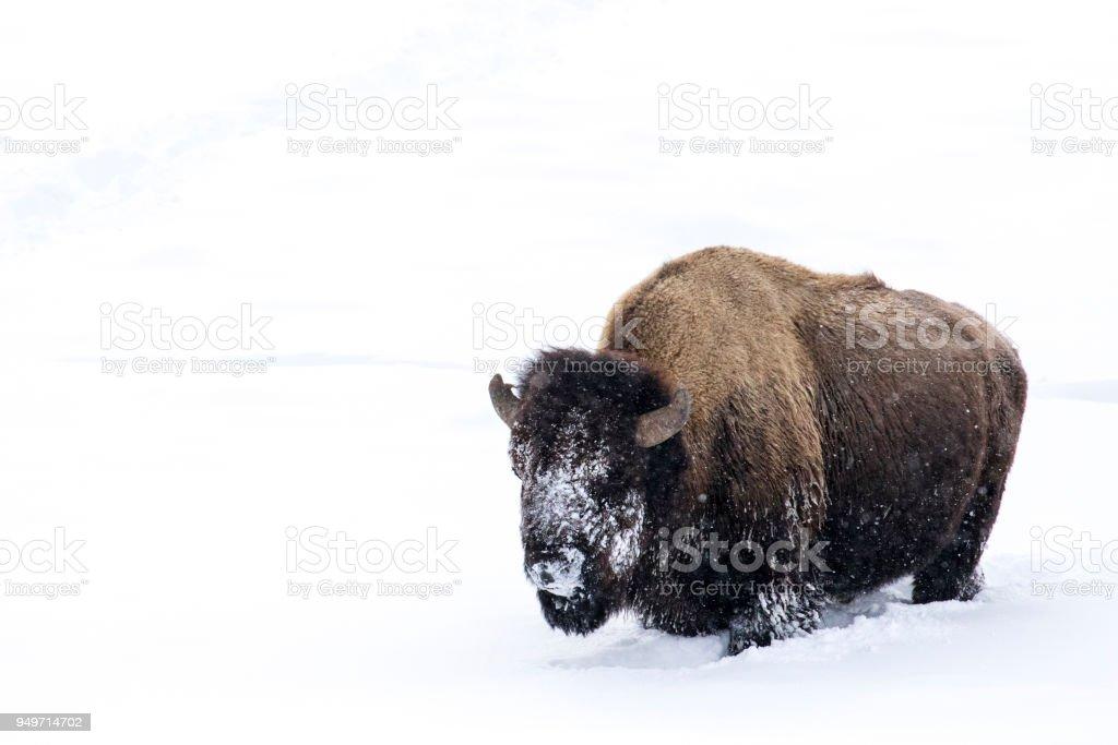 Bison Bulle mit verschneiten Gesicht steht in weißem Hintergrund – Foto