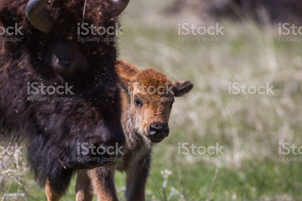 Bison calf, Custer State Park - Royalty-free American Bison Stock Photo
