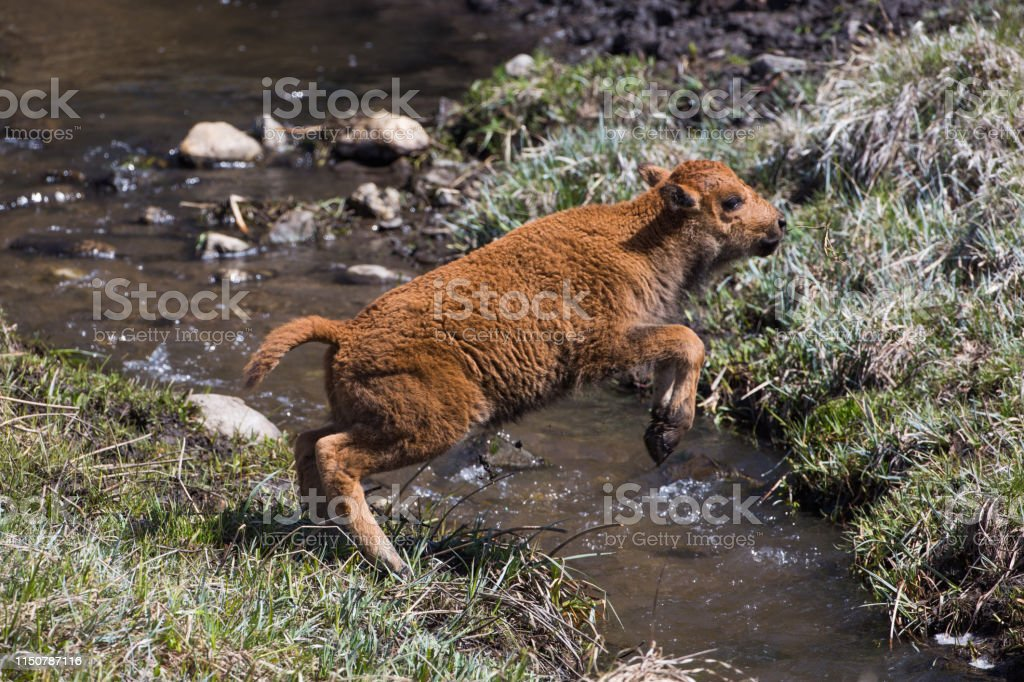 Bison calf leaping over a creek, Custer State Park - Royalty-free American Bison Stock Photo