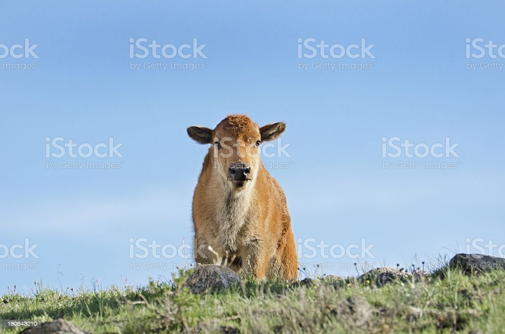 Bison Calf - Yellowstone National Park royalty-free stock photo