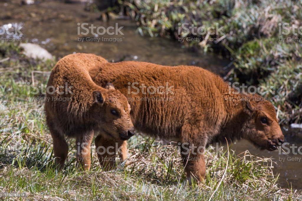 Bison calves, Custer State Park - Royalty-free American Bison Stock Photo