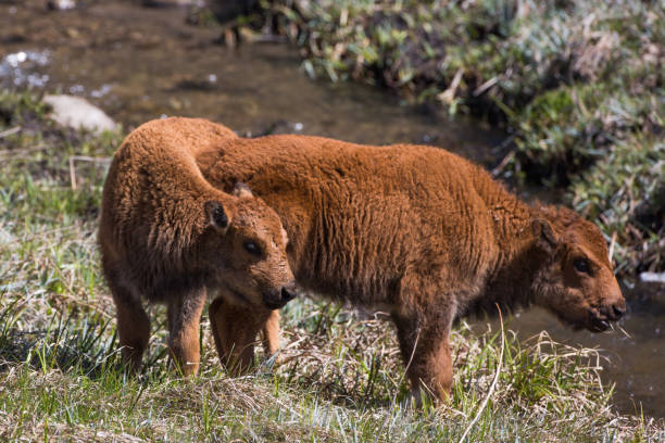 Bison calves, Custer State Park stock photo