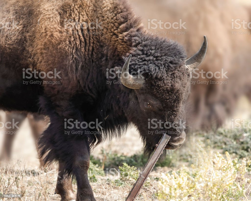 Bison continues to ease his itch by rubbing up against the metal pole stock photo