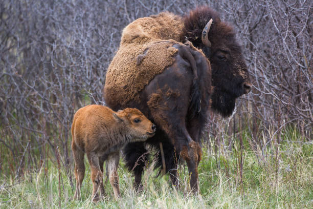 Bison cow and calf, Custer State Park stock photo