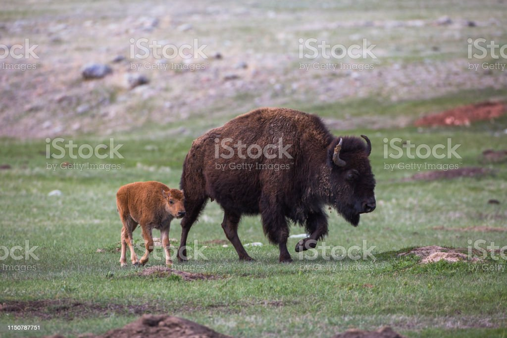 Bison cow and calf, Custer State Park - Royalty-free American Bison Stock Photo