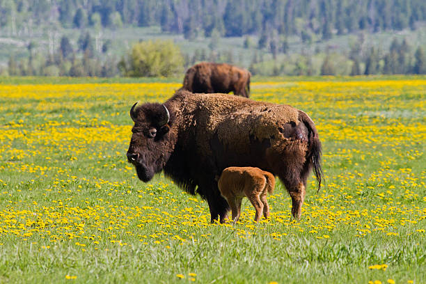 Bison Cow and Calf stock photo