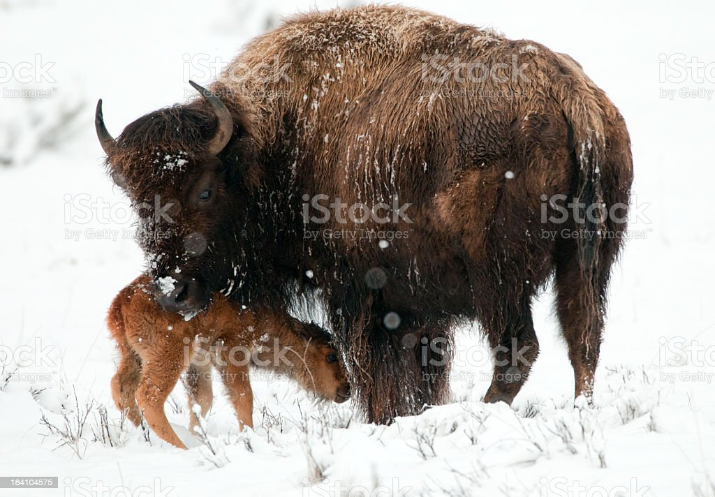 Bison Cow & Newborn - Yellowstone National Park stock photo